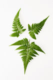 fern Obrazy Royalty Free