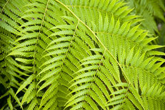 Fern. Detail of a fern leaf Royalty Free Stock Image