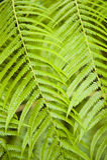 Fern. Detail of a fern leaf Royalty Free Stock Photography