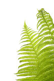 Fern. Garden fern isolated on white background royalty free stock photography