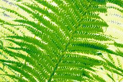 Fern-4 Stock Images
