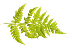 Fern. Isolated on white background Stock Photo