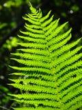 fern Imagem de Stock Royalty Free