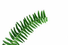 Free Fern Royalty Free Stock Images - 5215199