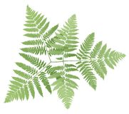 Fern. Isolated on white background, vector illustration Royalty Free Stock Image