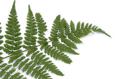 Fern. Fronds of fern on the white background Royalty Free Stock Image