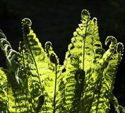 Fern. On black background Stock Image