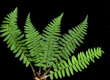 Fern. Green fern on black background royalty free stock photography