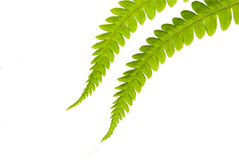 Fern. Detail of the fern isolated on the white background Stock Images