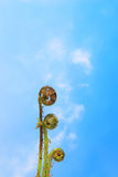 Fern against sky. Emerging fern fronds against a blue sky royalty free stock photos