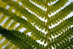 Fern against sunset. Macro of transparent fern against sunset close up Stock Photography