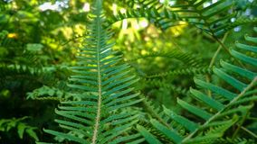 Fern areFern  Nature royalty free stock image