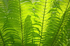 Fern as a background. Fern on the sun as a background Royalty Free Stock Image