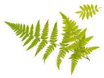 Fern and ash leaves. Green fern and ash leaves against the white background Royalty Free Stock Photo