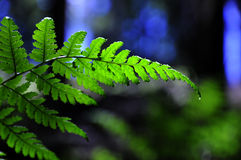 Fern -athyrium distetifolim Royalty Free Stock Photography