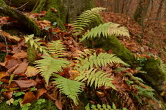 Fern autumn forest Royalty Free Stock Image