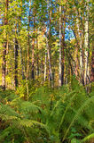 Fern. Autumn woods somewhere in Siberia Royalty Free Stock Photo