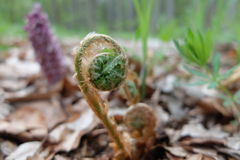Fern. Awakening of nature in the woods and a young fern Stock Photo