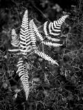 Fern in b&w - shot with analogue film. royalty free stock photography