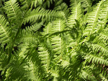 Fern Background. Fern in sunny summer day Background Stock Images