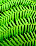 Fern for a background Royalty Free Stock Images