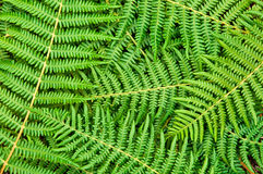 Fern Background. Close-up of the green fern branches Stock Images