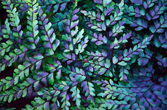 Fern background digital illustration. Fern frond background digital illustration featuring close up of Maidenhair Fern, Adiantum raddianum Stock Photography