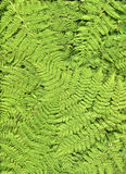 Fern background. Stock Photography