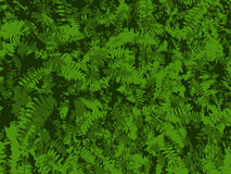 Fern Background. Rich green fern background. Fern growth. Dense growth Stock Image