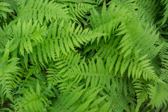 Fern Background in Summer. Bright green ferns layer to create a natural backdrop royalty free stock photo