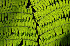 Fern in backlight Royalty Free Stock Image
