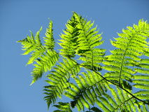 Fern basked in Sunlight Stock Photo
