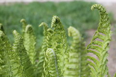 Fern. Beautiful bright green young leaves of garden fern grow towards the spring  sun  beautiful and amazing nature Royalty Free Stock Image