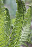 Fern. Beautiful bright green young leaves of garden fern grow towards the spring  sun  beautiful and amazing nature Royalty Free Stock Photo