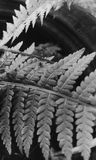Fern. The beautiful macro picture of fern in black and white effect stock image