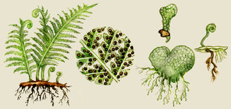 Fern biological cycle stock image