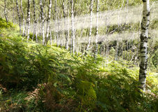 Fern and birch forest Stock Photography