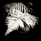 Fern. Black and white of fern frond in Kersey Valley, Va Stock Images