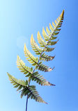 fern in blue sky Royalty Free Stock Photography
