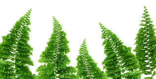Fern border, white background Royalty Free Stock Images