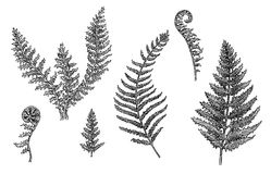 Fern. Botanical illustration. Set of hand drawn black and white sketches of excellent quality and detalization. Raster format Royalty Free Stock Images
