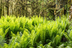 Fern in boxwood dense forest. With trees covered with moss stock photo