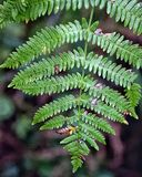 Fern. Bracken details leafs Royalty Free Stock Photography