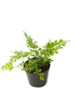 Fern (bracken) houseplant in pot  isolated Royalty Free Stock Photos