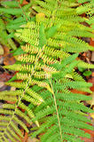 Fern bracken leaves Royalty Free Stock Photography