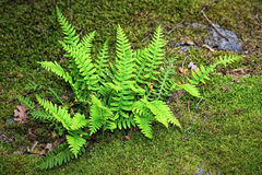 Fern (Bracken) on moss Stock Photos
