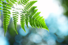 Fern branch Royalty Free Stock Image