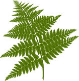Fern branch. A picture of fern branch in royalty free illustration