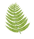 Fern branch Stock Photo