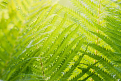 Fern branch background Royalty Free Stock Photo